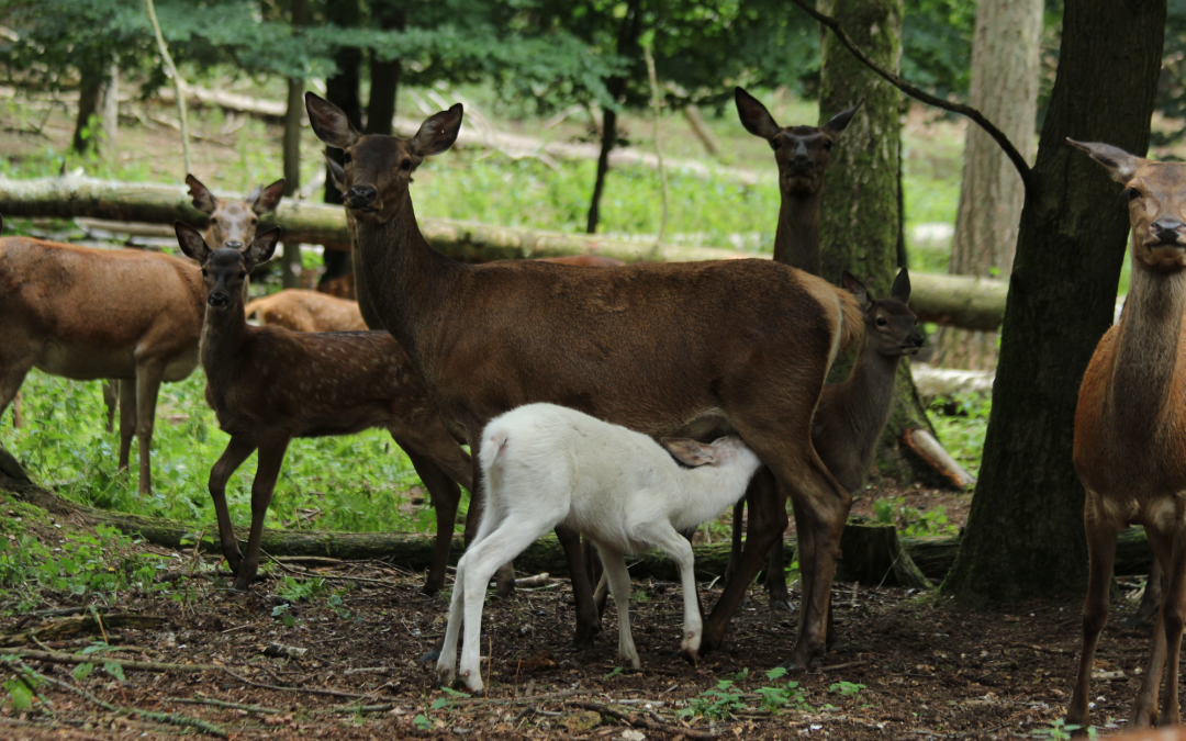 The White Red Deer