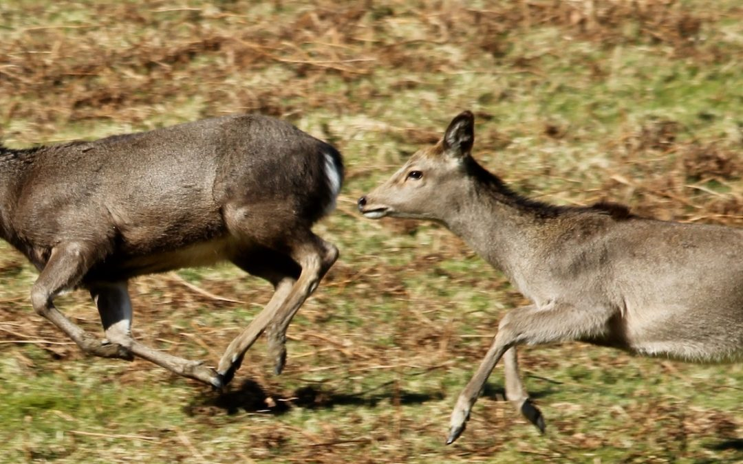 Influences on Deer Flight Distances